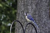 picture of blue jay  - Portrait of a beautiful blue Jay bird