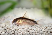 picture of skunks  - Skunk cory Corydoras arcuatus catfish black and white - JPG