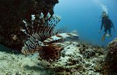 image of lion-fish  - Scuba diver watching Lion fish in rocks underwater - JPG
