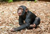 picture of chimp  - small chimpanzee in the zoo - JPG