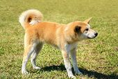 picture of akita-inu  - Beauty Akita Inu dog in the park - JPG