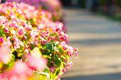 stock photo of begonias  - Beautiful pink begonias flower in the garden - JPG