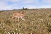 stock photo of veld  - Lioness walking in the grass - JPG