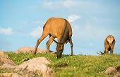 picture of mule deer  - Mule Deers on the Alpine Meadow - JPG