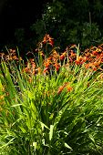 picture of crocosmia  - Orange red and yellow crocosmia (Orange devil) in an English garden