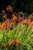 stock photo of crocosmia  - Orange red and yellow crocosmia  - JPG