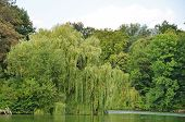picture of weeping willow tree  - Weeping willow tree in the public park - JPG