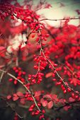 stock photo of barberry  - A branches of the ripe berries of barberry - JPG