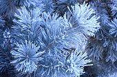 stock photo of conifers  - Winter landscape - JPG