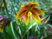 foto of rare flowers  - one very beutiful flower from Iran the name is Fritillaria reuteri - JPG