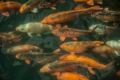 stock photo of fish pond  - Plenty of colorful Koi fish in transparent water of a pond - JPG