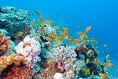 picture of fish  - colorful coral reef with shoal of fishes scalefin anthias in tropical sea - JPG