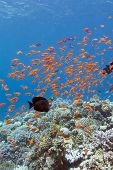 stock photo of shoal fish  - colorful coral reef with shoal of fishes scalefin anthias in tropical sea