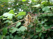 image of blackberries  - Spider Araneus guarding blackberry bush on Lovchen mountain in Montenegro. Photo was taken on October 5th, 2014. - JPG