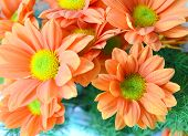 picture of gerbera daisy  - Bouquet of bright african daisy  - JPG
