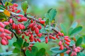image of barberry  - Red berries of barberry on a background of green leaves - JPG