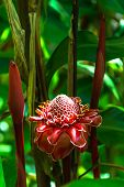 stock photo of torches  - View of a Red Torch Ginger Flower - JPG