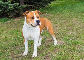 foto of american staffordshire terrier  - The American Staffordshire Terrier is on the grass - JPG