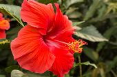 stock photo of rosa  - Hibiscus rosa sinensis close up of red flower head - JPG