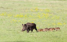 picture of boar  - Wild boar with cute piglets walking on grassland with spring flowers - JPG