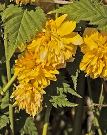 foto of century plant  - Kerria japonica Pleniflora beautiful ornamental plant from the family of roses was made in Japan in the 18th century - JPG