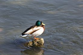 picture of male mallard  - One Male Mallard Duck Standing at the Sun in the Water - JPG