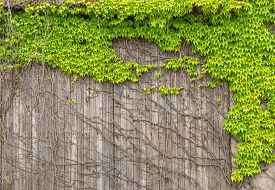 picture of bine  - Virginia creeper with young light green leaves on an old - JPG