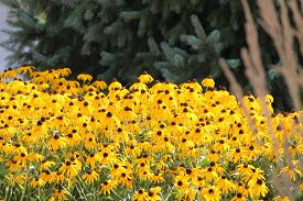 image of black-eyed susans  - Thick blanket of a pretty yellow flower  - JPG