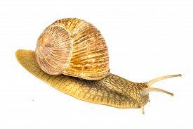 picture of garden snail  - Garden snail  - JPG