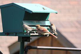 foto of cardinal-bird  - Northern Cardinal female (Cardinalis cardinalis) and a male House Finch (Carpodacus mexicanus) on a backyard bird-feeder. ** Note: Shallow depth of field - JPG