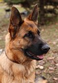 stock photo of shepherd dog  - portrait of a german shepherd in the park - JPG