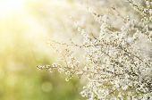 ������, ������: Pear flowers