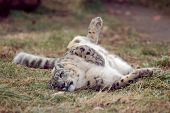 picture of panthera uncia  - a snow leopard stalks around its enclosure in a zoo - JPG