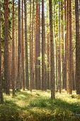 Постер, плакат: Pine forest
