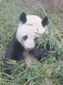 Постер, плакат: Giant Panda