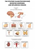 Постер, плакат: The Brain And Pituitary Gland Hormones