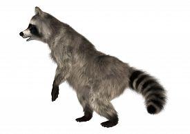 stock photo of raccoon  - 3D digital render of a raccoon iisolated on white background - JPG
