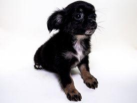 image of chiwawa  - Cute Puppy long hair Chiwawa with white background - JPG