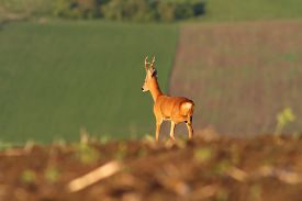 pic of bucks  - roe deer buck walking on agricultural fields  - JPG