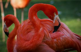 picture of pink flamingos  - Image of Bright pink flamingo on the green background - JPG