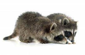 picture of raccoon  - young raccoon in front of white background - JPG