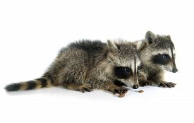 pic of raccoon  - young raccoon in front of white background - JPG