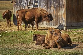 pic of female buffalo  - Tranquil European bison  - JPG