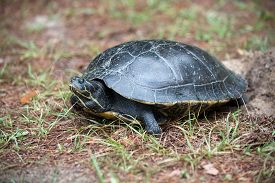 stock photo of cooter  - A large turtle believed to be a Suwannee Cooter laying its eggs in sandy ground near the Wakulla River in Wakulla Springs State Park Florida - JPG