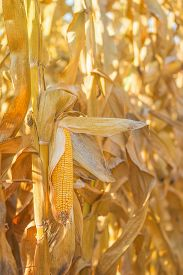 foto of corn cob close-up  - Mature maize cob on a stalk in harvest ready corn field close up with selective focus - JPG