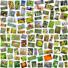 stock photo of siberia  - A collage of photos of medicinal plants grows in Russia - JPG