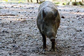 foto of boar  - portrait of a boar in a wildpark - JPG