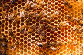 foto of honeycomb  - Close up view of the working bees on the honeycomb with sweet honey - JPG