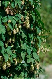 picture of bine  - fragrant green hop is growing among green leaves