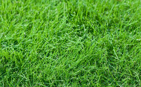 stock photo of fescue  - Fresh young green fescue grass in a lawn - JPG